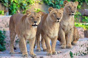 Зоопарк Барселоны Львы